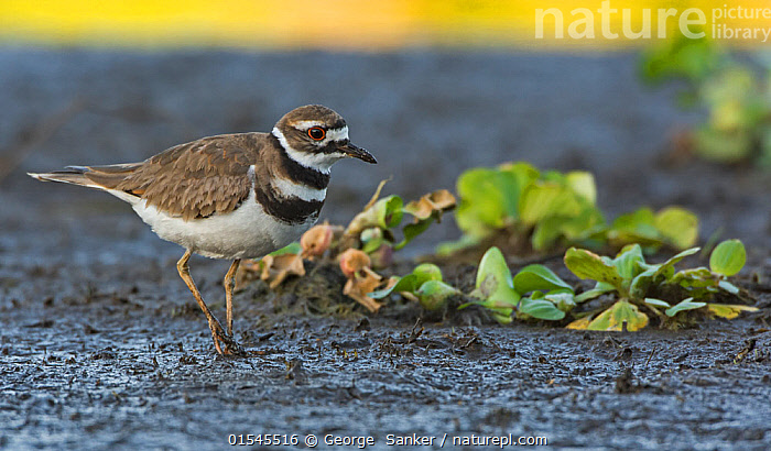 Killdeer (Charadrius vociferus). Myakka River State Park, Florida, USA, March., Animal,Vertebrate,Bird,Birds,Wader,Ringed plover,Killdeer,American,Animalia,Animal,Wildlife,Vertebrate,Aves,Bird,Birds,Charadriiformes,Charadriidae,Wader,Shorebird,Charadrius,Ringed plover,Plover,True plover,Charadriinae,Charadrius vociferus,Killdeer,North America,USA,Southern USA,Southeast US,Florida,Reserve,Protected area,On ground,State park,American,United States of America,, George  Sanker