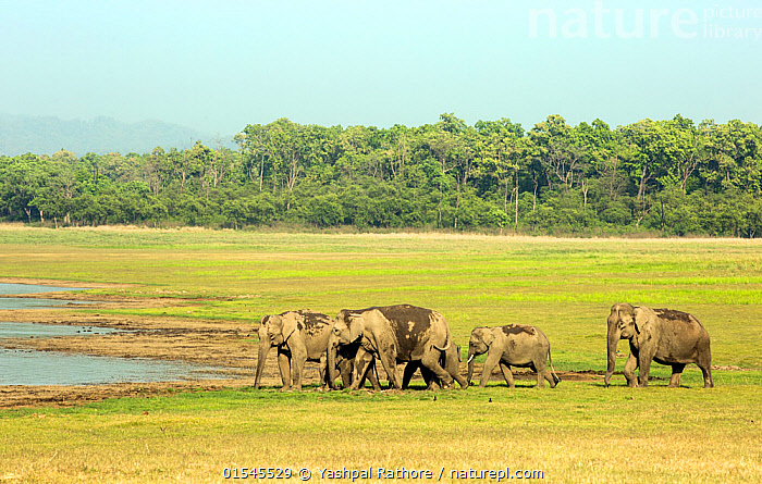 Asiatic elephant (Elephas maximus), herd approaching lake for drinking water. Jim Corbett National Park, India.  ,  Corbett National Park,indian wildlife,jim corbett national park,yashpal rathore,,Animal,Vertebrate,Mammal,Elephant,Asian elephants,Asian Elephant,Animalia,Animal,Wildlife,Vertebrate,Mammalia,Mammal,Proboscidea,Elephantidae,Elephant,Elephas,Asian elephants,Elephas maximus,Asian Elephant,Indian Elephant,Group Of Animals,Herd,Group,Asia,Indian Subcontinent,India,Wetland,Habitat,Reserve,Protected area,National Park,Uttarakhand,Jim Corbett National Park,Endangered species,threatened,Endangered  ,  Yashpal Rathore