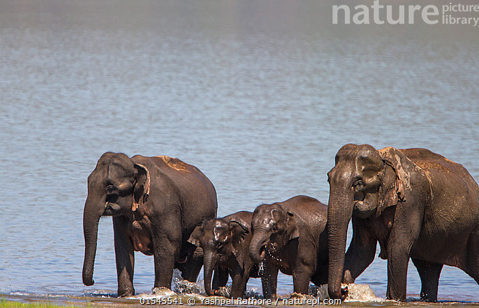 Asiatic elephant (Elephas maximus), family coming out of lake after drinking and bathing. Jim Corbett National Park, India.  ,  Corbett National Park,indian wildlife,jim corbett national park,yashpal rathore,,Animal,Vertebrate,Mammal,Elephant,Asian elephants,Asian Elephant,Animalia,Animal,Wildlife,Vertebrate,Mammalia,Mammal,Proboscidea,Elephantidae,Elephant,Elephas,Asian elephants,Elephas maximus,Asian Elephant,Indian Elephant,Group Of Animals,Herd,Group,Asia,Indian Subcontinent,India,Wetland,Reserve,Protected area,National Park,Uttarakhand,Jim Corbett National Park,Endangered species,threatened,Endangered  ,  Yashpal Rathore