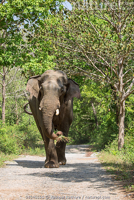 Asiatic elephant (Elephas maximus), male passing through Sal tree forest. Jim Corbett National Park, India.  ,  Corbett National Park,indian wildlife,jim corbett national park,yashpal rathore,,Animal,Vertebrate,Mammal,Elephant,Asian elephants,Asian Elephant,Animalia,Animal,Wildlife,Vertebrate,Mammalia,Mammal,Proboscidea,Elephantidae,Elephant,Elephas,Asian elephants,Elephas maximus,Asian Elephant,Indian Elephant,Asia,Indian Subcontinent,India,Male Animal,Road,Reserve,Protected area,National Park,Uttarakhand,Jim Corbett National Park,Endangered species,threatened,Endangered  ,  Yashpal Rathore