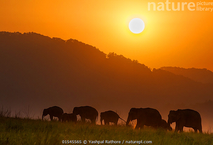 Asiatic elephant (Elephas maximus), silhouette of herd feeding at sunset. Jim Corbett National Park, India.  2014  ,  Corbett National Park,indian wildlife,jim corbett national park,yashapl rathore,,Animal,Vertebrate,Mammal,Elephant,Asian elephants,Asian Elephant,Animalia,Animal,Wildlife,Vertebrate,Mammalia,Mammal,Proboscidea,Elephantidae,Elephant,Elephas,Asian elephants,Elephas maximus,Asian Elephant,Indian Elephant,Walking,Group Of Animals,Herd,Group,Asia,Indian Subcontinent,India,Back Lit,Backlit,Sunset,Setting Sun,Sunsets,Landscape,Wetland,Habitat,Reserve,Silhouette,Protected area,National Park,Dusk,Uttarakhand,Jim Corbett National Park,Endangered species,threatened,Endangered  ,  Yashpal Rathore