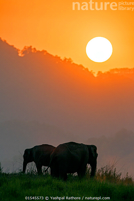 Asiatic elephant (Elephas maximus) silhouette of herd grazing at sunset. Jim Corbett National Park, India.  2014  ,  Corbett National Park,indian wildlife,jim corbett national park,yashapl rathore,,Animal,Vertebrate,Mammal,Elephant,Asian elephants,Asian Elephant,Animalia,Animal,Wildlife,Vertebrate,Mammalia,Mammal,Proboscidea,Elephantidae,Elephant,Elephas,Asian elephants,Elephas maximus,Asian Elephant,Indian Elephant,Asia,Indian Subcontinent,India,Copy Space,Sunset,Setting Sun,Sunsets,Habitat,Reserve,Protected area,National Park,Dusk,Uttarakhand,Negative space,Jim Corbett National Park,Endangered species,threatened,Endangered  ,  Yashpal Rathore