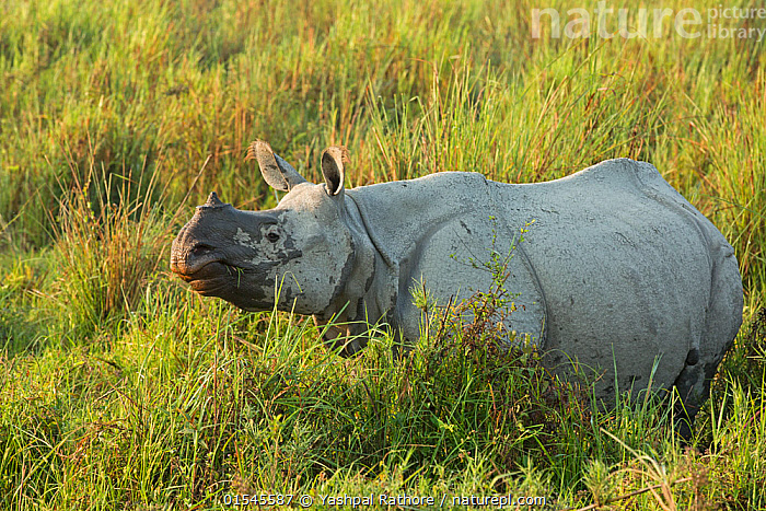 Indian rhinoceros (Rhinoceros unicornis) young male in tall grass. Kaziranga National Park, India, February.  ,  indian wildlife,kaziranga national park,,Animal,Vertebrate,Mammal,Odd toed ungulate,Rhinoceros,Indian rhinoceros,Animalia,Animal,Wildlife,Vertebrate,Mammalia,Mammal,Perissodactyla,Odd toed ungulate,Rhinocerotidae,Rhinoceros,Rhino,Rhinoceros unicornis,Indian rhinoceros,Greater One-horned Rhino,Great Indian Rhinoceros,Asia,Indian Subcontinent,India,Profile,Side View,Male Animal,Grassland,Reserve,Protected area,National Park,Assam,Kaziranga National Park,Endangered species,threatened,Vulnerable  ,  Yashpal Rathore