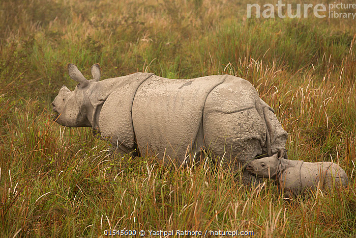 Indian rhinoceros(Rhinoceros unicornis), mother and young calf in tall grass. Kaziranga National Park, India. March.  ,  indian wildlife,kaziranga national park,,Animal,Vertebrate,Mammal,Odd toed ungulate,Rhinoceros,Indian rhinoceros,Animalia,Animal,Wildlife,Vertebrate,Mammalia,Mammal,Perissodactyla,Odd toed ungulate,Rhinocerotidae,Rhinoceros,Rhino,Rhinoceros unicornis,Indian rhinoceros,Greater One-horned Rhino,Great Indian Rhinoceros,Asia,Indian Subcontinent,India,Young Animal,Juvenile,Babies,Baby Mammal,Calf,Female animal,Grassland,Reserve,Protected area,National Park,Assam,Kaziranga National Park,Endangered species,threatened,Vulnerable  ,  Yashpal Rathore