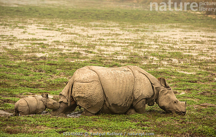Indian rhinoceros (Rhinoceros unicornis), mother with calf struggling to get through the mud. Kaziranga National Park, India.  ,  indian wildlife,kaziranga national park,,Animal,Vertebrate,Mammal,Odd toed ungulate,Rhinoceros,Indian rhinoceros,Animalia,Animal,Wildlife,Vertebrate,Mammalia,Mammal,Perissodactyla,Odd toed ungulate,Rhinocerotidae,Rhinoceros,Rhino,Rhinoceros unicornis,Indian rhinoceros,Greater One-horned Rhino,Great Indian Rhinoceros,Adversity,Difficult,Difficulty,Asia,Indian Subcontinent,India,Young Animal,Juvenile,Babies,Baby Mammal,Calf,Female animal,Wetland,Habitat,Reserve,Protected area,National Park,Assam,Kaziranga National Park,Endangered species,threatened,Vulnerable  ,  Yashpal Rathore