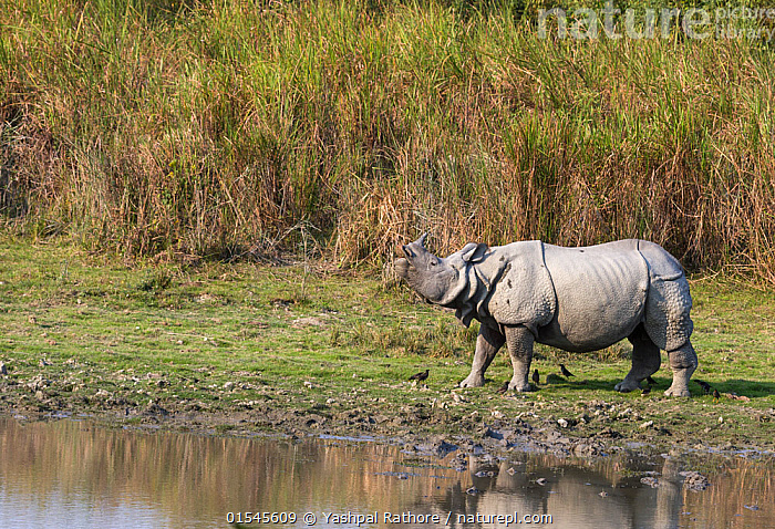 Indian rhinoceros (Rhinoceros unicornis), male sniffing air for possible mate. Kaziranga National Park, India.  ,  Animal,Vertebrate,Mammal,Odd toed ungulate,Rhinoceros,Indian rhinoceros,Animalia,Animal,Wildlife,Vertebrate,Mammalia,Mammal,Perissodactyla,Odd toed ungulate,Rhinocerotidae,Rhinoceros,Rhino,Rhinoceros unicornis,Indian rhinoceros,Greater One-horned Rhino,Great Indian Rhinoceros,Smelling,Sniffing,Courting,Asia,Indian Subcontinent,India,Male Animal,Wetland,Habitat,Animal Behaviour,Mating Behaviour,Courtship,Reserve,Behaviour,Protected area,National Park,Assam,Kaziranga National Park,Using Senses,Endangered species,threatened,Vulnerable  ,  Yashpal Rathore
