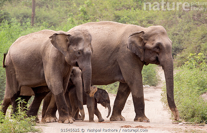 Asiatic elephant (Elephas maximus), herd with few days old calf crossing forest path.  Jim Corbett National Park, India.  ,  Animal,Vertebrate,Mammal,Elephant,Asian elephants,Asian Elephant,Animalia,Animal,Wildlife,Vertebrate,Mammalia,Mammal,Proboscidea,Elephantidae,Elephant,Elephas,Asian elephants,Elephas maximus,Asian Elephant,Indian Elephant,Asia,Indian Subcontinent,India,Young Animal,Juvenile,Babies,Baby Mammal,Calf,Reserve,Family,Mother baby,Mother-baby,mother,Protected area,National Park,Uttarakhand,Parent baby,Jim Corbett National Park,Endangered species,threatened,Endangered  ,  Yashpal Rathore