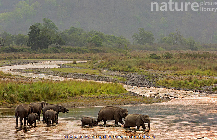 Asiatic elephant (Elephas maximus), herd drinking water and crossing mountain river at dusk, Jim Corbett National Park, India.  ,  Animal,Wildlife,Vertebrate,Mammal,Elephant,Asian elephants,Asian Elephant,Animalia,Animal,Wildlife,Vertebrate,Mammalia,Mammal,Proboscidea,Elephantidae,Elephant,Elephas,Asian elephants,Elephas maximus,Asian Elephant,Indian Elephant,Crossing,Group Of Animals,Herd,Group,Asia,Indian Subcontinent,India,Flowing Water,River,Landscape,Freshwater,Wetland,Water,Habitat,Drinking,Reserve,Protected area,National Park,Dusk,Uttarakhand,Jim Corbett National Park,Animals,Vertebrates,Chordates,Mammals,Elephants,Groups,Rivers,Landscapes,Wetlands,Reserves,National parks,Animal,Wildlife,Vertebrate,Mammal,Elephant,Asian elephants,Asian Elephant,high16  ,  Yashpal Rathore