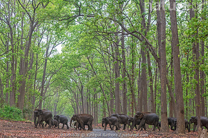 Asiatic elephant (Elephas maximus), herd passing through Sal tree forest. Jim Corbett National Park, India.  ,  Asiatic Elephant (Elephas maximus),Herd passing through Sal tree forest. Jim Corbett NP,India. May 2016,,Animal,Vertebrate,Mammal,Elephant,Asian elephants,Asian Elephant,Animalia,Animal,Wildlife,Vertebrate,Mammalia,Mammal,Proboscidea,Elephantidae,Elephant,Elephas,Asian elephants,Elephas maximus,Asian Elephant,Indian Elephant,Group Of Animals,Herd,Group,Asia,Indian Subcontinent,India,Habitat,Reserve,Forest,Protected area,National Park,Uttarakhand,Jim Corbett National Park,Endangered species,threatened,Endangered  ,  Yashpal Rathore