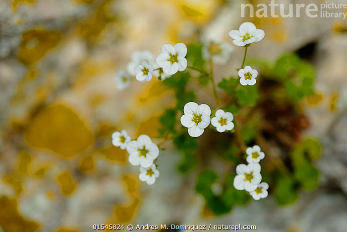Rockfoil flowers (Saxifraga bourgaeana) Sierra de Grazalema Natural Park, southern Spain, May.  ,  Plant,Vascular plant,Flowering plant,Dicot,Saxifrage,Plantae,Plant,Tracheophyta,Vascular plant,Magnoliopsida,Flowering plant,Angiosperm,Seed plant,Spermatophyte,Spermatophytina,Angiospermae,Saxifragales,Dicot,Dicotyledon,Saxifraganae,Saxifragaceae,Saxifraga,Saxifrage,Europe,Southern Europe,Spain,Flower,Flowers,Reserve,Protected area,Natural Park,Saxifraga bourgaeana,  ,  Andres M. Dominguez