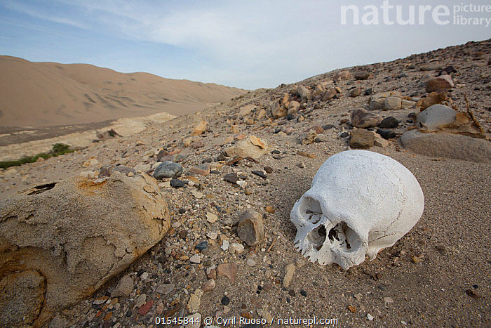 Human skull exposed where a  pre-Inca burial site has been pillaged,  Poroma Valley, Peru 2013  ,  People,Ancient,Dead,Old,Latin America,South America,Peru,Horizontal,Bone,Bones,Skull,Skulls,Valley,Valleys,Desert,Deserts,Landscape,Landscapes,Culture,Indigenous Culture,Death,Tribes,  ,  Cyril Ruoso