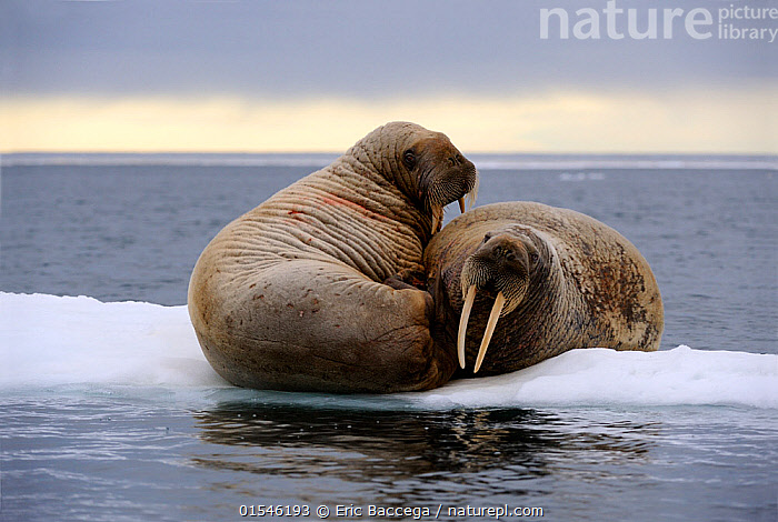 RF - Two walrus (Odobenus rosmarus) resting on ice. Foxe Basin, Nunavut, Canada. (This image may be licensed either as rights managed or royalty free.), Animal,Vertebrate,Mammal,Carnivore,Walrus,Animalia,Animal,Wildlife,Vertebrate,Mammalia,Mammal,Carnivora,Carnivore,Odobenidae,Walrus,Pinniped,Pinnipedia,Odobenus,Odobenus rosmarus,Huddling,Huddle,Huddled,Huddles,Resting,Rest,Balance,Friendship,Togetherness,Two,Nobody,Wrinkled,Wrinkle,Wrinkles,Affectionate,Affection,North America,Canada,Nunavut,Tusk,Tusks,Ice,Day,Nature,Marine Life,Sea Life,Marine,Water,Saltwater,Sea,Two animals,Awkward,RF,Royalty free,RFCAT1,RF16Q4,Marine, Eric Baccega