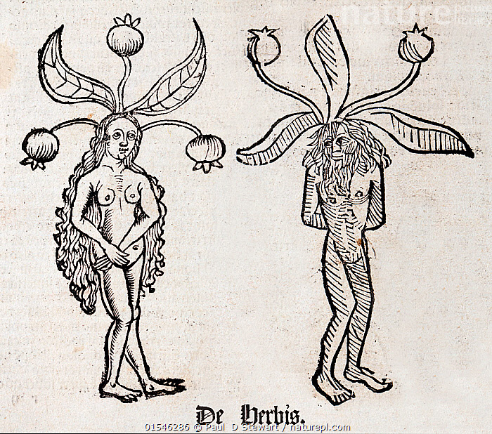 Woodblock illustration of Mandrake (Mandragora) from two pages of the Ortus (Hortus) sanitatis - translated from the Latin as 'Garden of Health' by Jacob Meydenbach, 1491. He describes plants and animals (both real and mythical) together with minerals and medicine.  The mandrake has a wrinkled forked root which is supposed to looks like a human body.  ,  Plant,Vascular plant,Flowering plant,Asterid,Plantae,Plant,Tracheophyta,Vascular plant,Magnoliopsida,Flowering plant,Angiosperm,Seed plant,Spermatophyte,Spermatophytina,Angiospermae,Solanales,Asterid,Dicot,Dicotyledon,Asteranae,Solanaceae,Solanacees,Bizarre,Weird,Natural Science,Life Science,Biology,Botany,Past Era,Past Eras,Middle Ages,Illustration,Illustration Technique,Print ,Prints,Woodcut,Root,Medicines,Cure,Alternative Therapy,Herbal Medicine,History,The Past,Natural History,Mythical,Mandragora,Plants,Angiosperms,Spermatophytes,Asterids,Dicots,Dicotyledons,Roots,Plant,Vascular plant,Flowering plant,Asterid,high16  ,  Paul  D Stewart