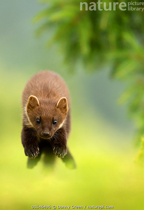 Pine marten (Martes martes) leaping, Ardnamurchan Peninsula, Scotland, August. Highly commended in the Animal Behaviour category of the BWPA (British Wildlife Photography Awards) Competition 2016., Animal,Wildlife,Vertebrate,Mammal,Carnivore,Mustelid,Marten,European Pine Martin,Animalia,Animal,Wildlife,Vertebrate,Mammalia,Mammal,Carnivora,Carnivore,Mustelidae,Mustelid,Martes,Marten,Martes martes,European Pine Martin,Pine Marten,Jumping,Energetic,Colour ,Green,Europe,Western Europe,UK,Great Britain,Scotland,Vertical,Front View,Animal Behaviour,Competition winner,Photography award,Animals,Vertebrates,Chordates,Mammals,Carnivores,Mustelids,Martens,Award winners,Colours,Colors,Animal,Wildlife,Vertebrate,Mammal,Carnivore,Mustelid,Marten,European Pine Martin, catalogue9, Danny Green