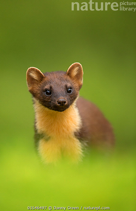 Pine marten (Martes martes) portrait, Ardnamurchan Peninsula, Scotland, August. Highly commended in the Portrait category of the BWPA (British Wildlife Photography Awards) Competition 2016., Animal,Wildlife,Vertebrate,Mammal,Carnivore,Mustelid,Marten,European Pine Martin,Animalia,Animal,Wildlife,Vertebrate,Mammalia,Mammal,Carnivora,Carnivore,Mustelidae,Mustelid,Martes,Marten,Martes martes,European Pine Martin,Pine Marten,Alertness,Curiosity,Colour ,Green,Europe,Western Europe,UK,Great Britain,Scotland,Copy Space,Vertical,Portrait,Competition winner,Negative space,Lochaber,Ardnamurchan,Photography award,Animals,Vertebrates,Chordates,Mammals,Carnivores,Mustelids,Martens,Copy Spaces,Portraits,Award winners,Colours,Colors,Animal,Wildlife,Vertebrate,Mammal,Carnivore,Mustelid,Marten,European Pine Martin,high16, Danny Green
