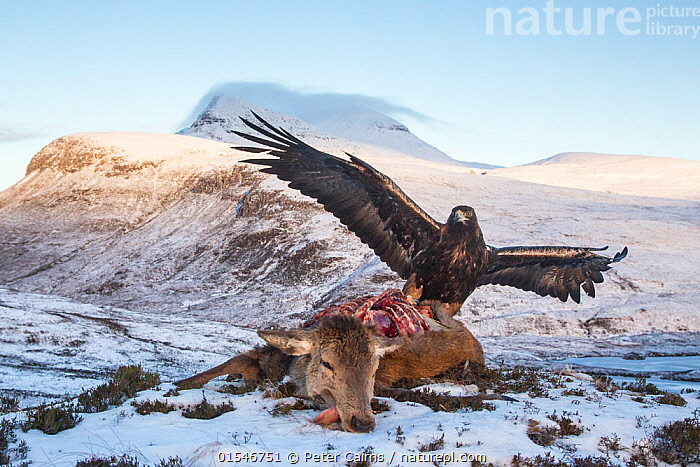 Golden eagle (Aquila chrysaetos) feeding on red deer carcass, Assynt, Scotland. Highly commended in the Habitat category of the BWPA (British Wildlife Photography Awards) 2016.  ,  Animal,Wildlife,Vertebrate,Bird,Birds,True eagle,Golden eagle,Animalia,Animal,Wildlife,Vertebrate,Aves,Bird,Birds,Accipitriformes,Accipitridae,Aquila,True eagle,True eagles,Eagle,Bird of prey,Raptor,Aquila chrysaetos,Golden eagle,Dead,Dead Animal,Carcass,Europe,Western Europe,UK,Great Britain,Scotland,Highland,Mountain,Landscape,Winter,Feeding,Scavenging,Death,Highlands of Scotland,Aquila chrysaetus,Animals,Vertebrates,Chordates,Eagles,Birds of prey,Raptors,Mountainous,Mountains,Landscapes,Animal,Wildlife,Vertebrate,Bird,Birds,True eagle,Golden eagle,high16  ,  Peter Cairns