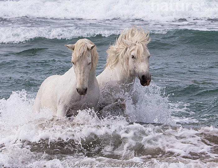 Two white Camargue horses in ocean of Camargue, France, Europe. May.  ,  Animal,Vertebrate,Mammal,Odd toed ungulate,Wild Horse,Equus ferus caballus,Equus caballus,Animalia,Animal,Wildlife,Vertebrate,Mammalia,Mammal,Perissodactyla,Odd toed ungulate,Equidae,Equus,Equus ferus,Wild Horse,Horse,Splashing,Colour,White,Side By Side,Two,Europe,Western Europe,France,Bouches Du Rhone,Bouches-Du-Rhne,Bouches-Du-Rhone,Ocean,Wave,Nature,Wild,Animals In The Wild,Animal In The Wild,Wild Animal,Wild Animals,Marine,Water,Domestic animal,Domestic Horse,Saltwater,Sea,Camargue horse,Domesticated,Equus ferus caballus,Equus caballus,Two animals,Camargue,  ,  Carol Walker