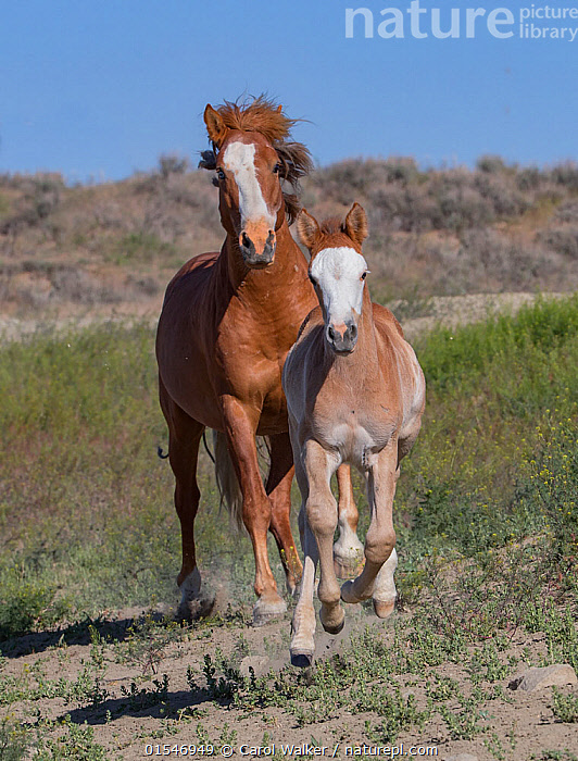 Wild pinto Mustang mare and foal running in Sand Wash Basin, Colorado, USA., Animal,Wildlife,Vertebrate,Mammal,Odd toed ungulate,Wild Horse,Equus ferus caballus,Equus caballus,American,Animalia,Animal,Wildlife,Vertebrate,Mammalia,Mammal,Perissodactyla,Odd toed ungulate,Equidae,Equus,Equus ferus,Wild Horse,Horse,Running,Concentration,Determination,Togetherness,Colour ,Two,North America,USA,Western USA,Southwest USA,Colorado,Full Length,Front View,Young Animal,Baby,Baby Mammal,Foal,Foals,Female animal,Mare,Mares,Wild,Animals In The Wild,Domestic animal,Domestic Horse,Family,Mother baby,Mother,Domesticated,Equus ferus caballus,Equus caballus,Two animals,Parent baby,Moving,American,Sand Wash Basin,Mustang,Pinto,United States of America,Movement,Animals,Vertebrates,Chordates,Mammals,Odd toed ungulates,Horses,Juveniles,Young Animals,Baby Animals,Animal In The Wild,Wild Animals,Families,Babies,Colours,Colors,Female Animals,Animal,Wildlife,Vertebrate,Mammal,Odd toed ungulate,Wild Horse,Equus ferus caballus,Equus caballus,American,high16, Carol Walker