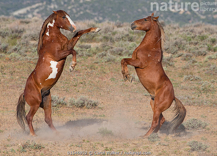 Two wild pinto Mustang stallions battle for dominance in Sand Wash Basin, Colorado, USA.  ,  Animal,Wildlife,Vertebrate,Mammal,Odd toed ungulate,Wild Horse,Equus ferus caballus,Equus caballus,American,Animalia,Animal,Wildlife,Vertebrate,Mammalia,Mammal,Perissodactyla,Odd toed ungulate,Equidae,Equus,Equus ferus,Wild Horse,Horse,Standing,Confronting,Confronts,Rivalry,Rival,Rivals,Colour ,Face To Face,Two,North America,USA,Western USA,Southwest USA,Colorado,Full Length,Male Animal,Stallion,Stallions,Dust,Dusty,Nature,Wild,Animals In The Wild,Domestic animal,Domestic Horse,Domesticated,Equus ferus caballus,Equus caballus,Feral,Wild horse,Standing on hind legs,Two animals,American,Sand Wash Basin,Mustang,Pinto,Feral mammal,United States of America,Animals,Vertebrates,Chordates,Mammals,Odd toed ungulates,Horses,Confrontations,Males,Male Animals,Animal In The Wild,Wild Animals,Colours,Colors,Wild horses,Feral mammals,Animal,Wildlife,Vertebrate,Mammal,Odd toed ungulate,Wild Horse,Equus ferus caballus,Equus caballus,American,high16  ,  Carol Walker