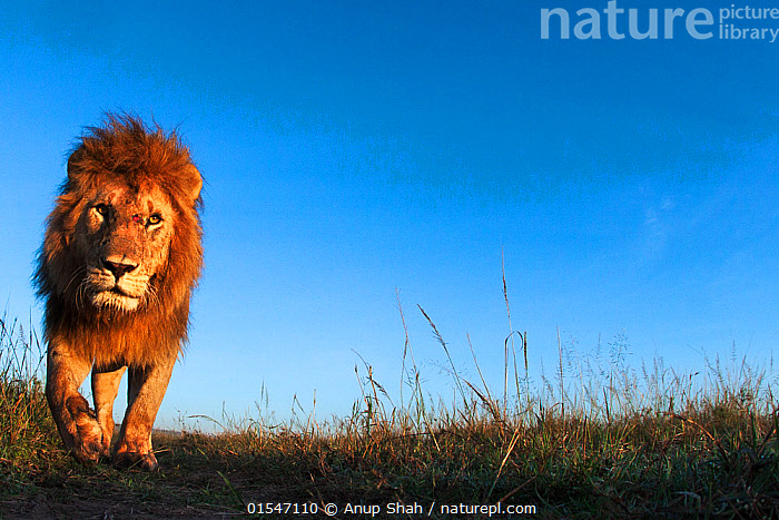 Lion (Panthera leo) male approaching,  Maasai Mara National Reserve, Kenya.  Taken with remote wide angle camera., Animal,Wildlife,Vertebrate,Mammal,Carnivore,Cat,Big cat,Lion,Animalia,Animal,Wildlife,Vertebrate,Mammalia,Mammal,Carnivora,Carnivore,Felidae,Cat,Panthera,Big cat,Panthera leo,Approaching,Approach,Approaches,Approachs,Curiosity,Suspicion,Africa,East Africa,Kenya,Copy Space,Horizontal,Low Angle View,Portrait,Male Animal,Sky,Clear Sky,Grassland,Reserve,Lion,Protected area,Direct Gaze,Negative space,Animals,Vertebrates,Chordates,Mammals,Carnivores,Cats,Big cats,Copy Spaces,Portraits,Males,Male Animals,Skies,Clear Skies,Grasslands,Lions,Reserves,Animal,Wildlife,Vertebrate,Mammal,Carnivore,Cat,Big cat,Lion,high16, Anup Shah