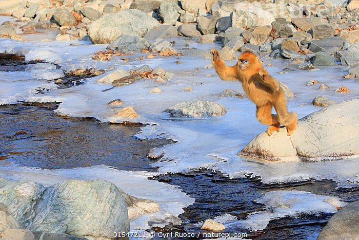 Golden monkey (Rhinopithecus roxellana) jumping over a frozen stream, Qinling Mountains, China. Sequence 2 of 7, Animal,Vertebrate,Mammal,Monkey,Snub nosed monkeys,Golden Snub-nosed Monkey,Animalia,Animal,Wildlife,Vertebrate,Mammalia,Mammal,Primate,Primates,Cercopithecidae,Monkey,Old World Monkeys,Rhinopithecus,Snub nosed monkeys,Rhinopithecus roxellana,Golden Snub-nosed Monkey,Sichuan Golden Snub-nosed Monkey,Crossing,Jumping,Frozen,Asia,East Asia,China,Male Animal,Ice,Snow,Winter,Endangered species,threatened,Endangered, Cyril Ruoso