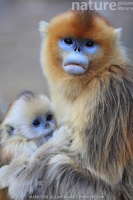 Golden monkey (Rhinopithecus roxellana) female with young suckling, Qinling Mountains, China.  ,  Animal,Vertebrate,Mammal,Monkey,Snub nosed monkeys,Golden Snub-nosed Monkey,Animalia,Animal,Wildlife,Vertebrate,Mammalia,Mammal,Primate,Primates,Cercopithecidae,Monkey,Old World Monkeys,Rhinopithecus,Snub nosed monkeys,Rhinopithecus roxellana,Golden Snub-nosed Monkey,Sichuan Golden Snub-nosed Monkey,Asia,East Asia,China,Young Animal,Juvenile,Babies,Animal Behaviour,Parental behaviour,Suckling,Feeding young,Family,Mother baby,Behaviour,Mother-baby,mother,Parental,Parent baby,Endangered species,threatened,Endangered  ,  Cyril Ruoso