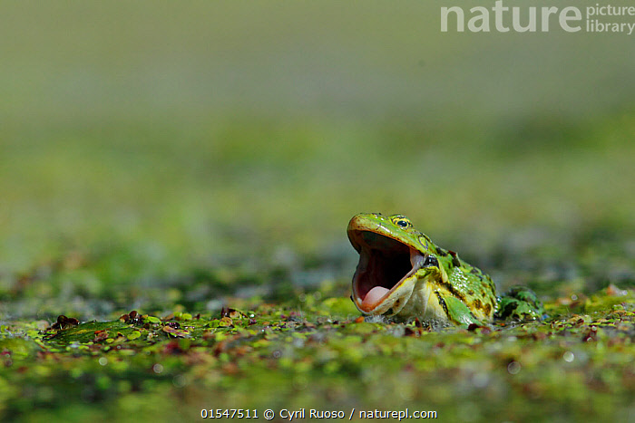 Frog (Pelophylax sp) in pondweed with mouth wide open, Burgundy, France, May.  ,  amphibiens,,Animal,Vertebrate,Frog,Green frog,Eurasian Marsh Frog,Animalia,Animal,Wildlife,Vertebrate,Amphibia,Anura,Frog,Ranidae,Pelophylax,Green frog,Water frog,Pelophylax ridibundus,Eurasian Marsh Frog,Marsh frog,Rana ridibunda,Pelophylax ridibunda,Surprise,Humorous,Facial Expression,Laughing,Europe,Western Europe,France,Burgundy,Plant,Arale,Arales,Aralia,Duckweed,Duckweeds,Lemnaceae,Pond Weed,Pond Weeds,Mouth,Open Mouth,Amphibian,Bourgogne,  ,  Cyril Ruoso