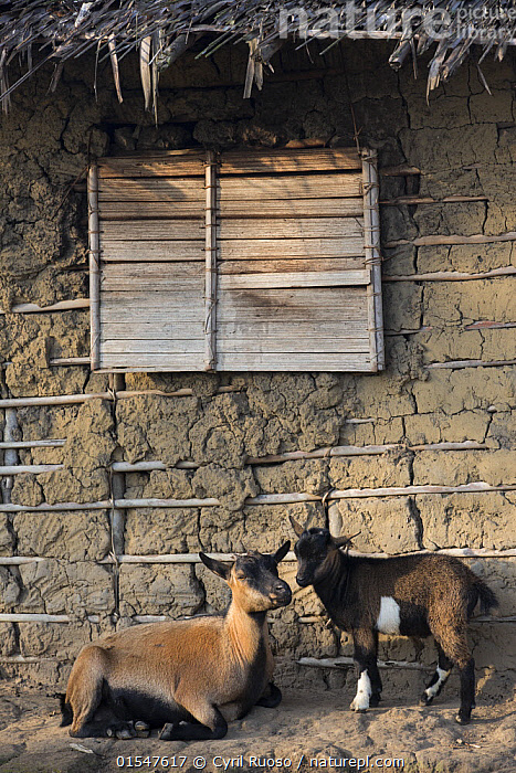 Domestic goats, donated by M'boumontour NGO, supporting different kinds of conservation projects of the community with the aim of development and protection of the local Bonobo (Pan paniscus) populations, Democratic Republic of Congo (DRC) 2014  ,  Animal,Vertebrate,Mammal,Bovid,Goat,Animalia,Animal,Wildlife,Vertebrate,Mammalia,Mammal,Artiodactyla,Even-toed ungulates,Bovidae,Bovid,ruminantia,Ruminant,Capra,Goat,Wild goats,Charity,Aid,Charitable,Community,Communities,Africa,Central Africa,Democratic Republic of the Congo,Vertical,Settlement,Village,Villages,Tropical,Livestock,Domestic animal,Conservation,Domesticated,Tropics,Domestic,DRC,  ,  Cyril Ruoso