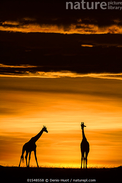 RF- Masai giraffe (Giraffa camelopardalis tippelskirchi) pair at sunrise. Masai-Mara Game Reserve, Kenya. (This image may be licensed either as rights managed or royalty free.)  ,  Animal,Vertebrate,Mammal,Giraffid,Giraffe,Masai Giraffe,Animalia,Animal,Wildlife,Vertebrate,Mammalia,Mammal,Artiodactyla,Even-toed ungulates,Giraffidae,Giraffid,Ruminant,Giraffa,Giraffe,Giraffa camelopardalis,Approaching,Approach,Approaches,Approachs,Waiting,New Beginnings,Colour,Yellow,Two,Nobody,Africa,East Africa,Kenya,Back Lit,Sky,Moody Sky,Dramatic Sky,Sunrise,Outdoors,Nature,Wild,Reserve,Masai Giraffe,Maasai Giraffe,Protected area,Wildlife watching,Dawn,Two animals,Safari,Beginnings,Game reserve,RF,Royalty free,RFCAT1,RF17Q1,Safari Animal,  ,  Denis-Huot