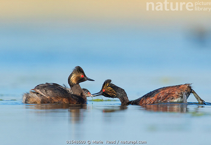 Eared grebes (Podiceps nigricollis), pair, one adult feeding chick riding on the other adult's back, Bowdoin National Wildlife Refuge, Montana, USA  ,  Eared Grebe;grebes;Black-necked Grebe;bird;birds;Podicipedidae;water;aquatic;swim;swimming;adult;adults;two;four;pair;couple;family;chick;chicks;baby;babies;offspring;young;youngsters;ride;riding;back;mother;father;parent;parents;breed;breeding;reproduction;reproduce;summer;feed;food;feeding;eat;eating;care;caring;protecting;protection;carry;carrying;piggy-back;piggy-backing;piggy back;nurture;nurturing;behavior;behaviour;North America;American,,Animal,Vertebrate,Bird,Birds,Grebe,Black necked grebe,American,Wildfowl,Water fowl,Animalia,Animal,Wildlife,Vertebrate,Aves,Bird,Birds,Podicipediformes,Podicipedidae,Grebe,Podiceps,Podiceps nigricollis,Black necked grebe,Eared grebe,North America,USA,Western USA,Montana,Young Animal,Juvenile,Babies,Chick,Freshwater,Water,Family,Parent baby,American,Waterfowl,Wildfowl,Water fowl,United States of America,  ,  Marie  Read
