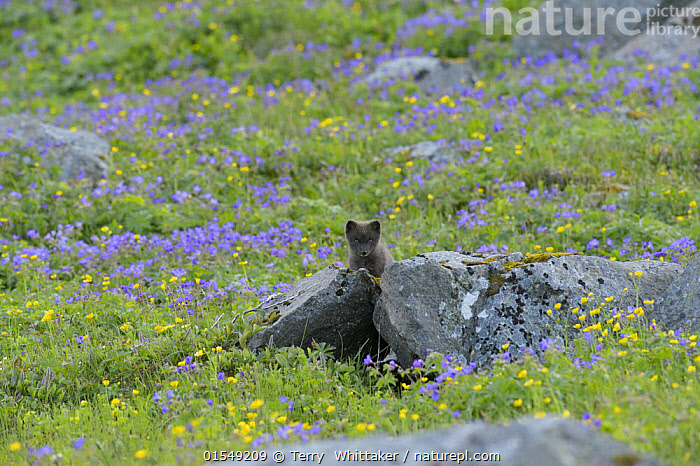 Arctic fox (Alopex lagopus) cub exploring away from the den amongst Geranium flowers (Geranium sylvaticum). Hornvik, Hornstrandir, Westfjords, Iceland. July  ,  Plant,Vascular plant,Flowering plant,Rosid,Geranium family,Wood cranesbill,Animal,Vertebrate,Mammal,Carnivore,Canid,True fox,Arctic fox,Plantae,Plant,Tracheophyta,Vascular plant,Magnoliopsida,Flowering plant,Angiosperm,Seed plant,Spermatophyte,Spermatophytina,Angiospermae,Geraniales,Rosid,Dicot,Dicotyledon,Rosanae,Geraniaceae,Geranium family,Geranium,Geranium sylvaticum,Wood cranesbill,Woodland geranium,Geranium angulatum,Geranium batrachioides,Geranium lemanianum,Animalia,Animal,Wildlife,Vertebrate,Mammalia,Mammal,Carnivora,Carnivore,Canidae,Canid,Vulpes,True fox,Vulpini,Caninae,Vulpes lagopus,Arctic fox,Polar fox,Blue fox,Ice fox,White fox,Alopex lagopus,Canis lagopus,Curiosity,Europe,Northern Europe,North Europe,Nordic Countries,Scandinavia,Iceland,Horizontal,Young Animal,Juvenile,Babies,Baby Mammal,Cub,Wildflower,Wildflowers,Flower,Exploration,Habitat,Reserve,Colour-phases,Winter coat,Colour morphs,Protected area,Dark phase,Investigating,  ,  Terry  Whittaker