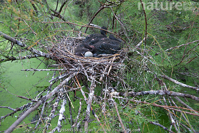 Glossy ibis (Pleagadis falcinellus) nest with eggs, Scamandre Marsh, Camargue, France, June., Animal,Vertebrate,Bird,Birds,Ibis,Glossy ibis,Animalia,Animal,Wildlife,Vertebrate,Aves,Bird,Birds,Pelecaniformes,Threskiornithidae,Plegadis,Ibis,Ibe,Ibide,Threskiornithinae,Plegadis falcinellus,Glossy ibis,Europe,Western Europe,France,Bouches Du Rhone,Bouches-Du-Rhne,Bouches-Du-Rhone,Animal Eggs,Egg,Eggs,Animal Home,Nest,Camargue,, Jean E. Roche