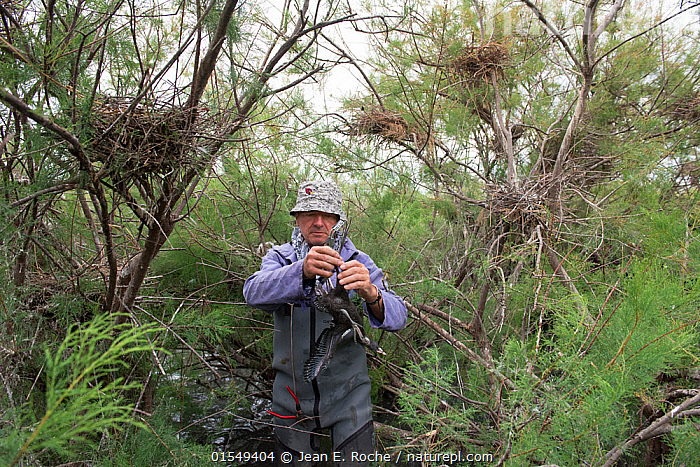 Conservationist ringing Glossy ibis (Plegadis falcinellus) in Tamarix marshland with nests behind, Scamandre Nature Reserve, Camargue, France, May 2016., Ringing,Europe,Western Europe,France,Bouches Du Rhone,Bouches-Du-Rhne,Bouches-Du-Rhone,Animal,Young Animal,Juvenile,Babies,Chick,Conservation,Bird ring,Tagged,Camargue,Tagging,, Jean E. Roche