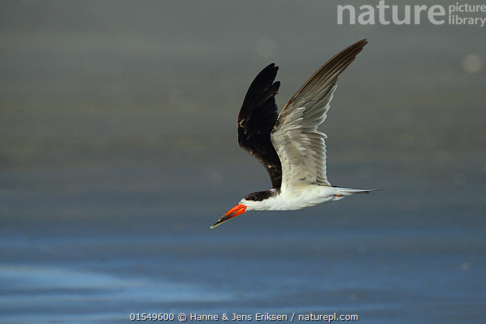 Nature Picture Library - African skimmer (Rynchops