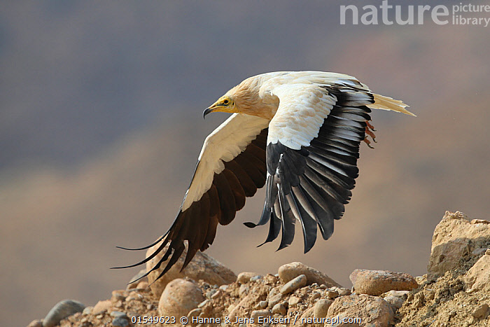 Egyptian vulture (Neophron percnopterus) adult in flight, taking off, Oman, November  ,  Animal,Vertebrate,Bird,Birds,Vulture,Egyptian vulture,Animalia,Animal,Wildlife,Vertebrate,Aves,Bird,Birds,Accipitriformes,Accipitridae,Neophron,Vulture,Old world vulture,Neophron percnopterus,Egyptian vulture,White scavenger vulture,Scavenger vulture,Flying,Asia,Middle East,Oman,Sultanate of Oman,Profile,Side View,Arabia,Endangered species,threatened,Endangered  ,  Hanne & Jens Eriksen