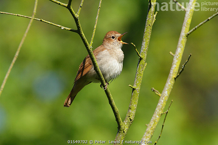 Nightingale (Luscinia megarhynchos) singing in tree near Pulborough, West Sussex, England, UK. May.  ,  Animal,Wildlife,Vertebrate,Bird,Birds,Songbird,Old world flycatcher,Chat,Nightingale,Animalia,Animal,Wildlife,Vertebrate,Aves,Bird,Birds,Passeriformes,Songbird,Passerine,Muscicapidae,Old world flycatcher,Flycatcher,Luscinia,Chat,Chat thrush,Saxicolinae,Luscinia megarhynchos,Nightingale,Common nightingale,Rufous nightingale,Western nightingale,Vocalisation,Sing,Effort,Exertion,Trying,Europe,Western Europe,UK,Great Britain,England,West Sussex,Close Up,Male Animal,Plant,Branch,Branches,Mouth,Spring,Animal Behaviour,Sussex,Open Mouth,Animals,Vertebrates,Chordates,Songbirds,Passerines,Old world flycatchers,Flycatchers,Chats,Chat thrushes,Closeups,Males,Male Animals,Mouths,Close-ups,Close ups,Animal,Wildlife,Vertebrate,Bird,Birds,Songbird,Old world flycatcher,Chat,Nightingale,high16  ,  Peter  Lewis