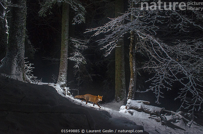 Red fox (Vulpes vulpes) at night in snow, camera trap image, Jura Mountains, Switzerland, August.  Commended in the Mammals category of the Asferico Competition 2016., Animal,Wildlife,Vertebrate,Mammal,Carnivore,Canid,True fox,Red fox,Animalia,Animal,Wildlife,Vertebrate,Mammalia,Mammal,Carnivora,Carnivore,Canidae,Canid,Vulpes,True fox,Vulpini,Caninae,Vulpes vulpes,Red fox,Europe,Western Europe,Switzerland,Snow,Winter,Night,Woodland,Habitat,Forest,Competition winner,Photography award,Animals,Vertebrates,Chordates,Mammals,Carnivores,Canids,True foxes,Woods,Forests,Woodlands,Award winners,Nights,Animal,Wildlife,Vertebrate,Mammal,Carnivore,Canid,True fox,Red fox, catalogue9, Laurent Geslin
