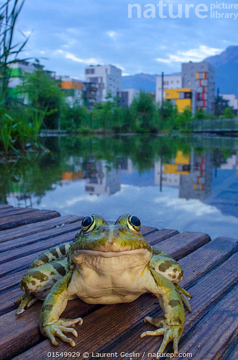 European edible frog (Rana esculenta) in urban park, next to pond with buildings in distance, Grenoble, France, May.  ,  Animal,Wildlife,Vertebrate,Frog,Green frog,European edible frog,Animalia,Animal,Wildlife,Vertebrate,Amphibia,Anura,Frog,Ranidae,Pelophylax,Green frog,Water frog,Pelophylax esculentus,European edible frog,Pelophylax esculenta,Rana esculenta,Rana maritima,Europe,Western Europe,France,Portrait,City,Building,Reflection,Freshwater,Pond,Water,Amphibian,Animals,Vertebrates,Chordates,Frogs,Green frogs,Water frogs,Portraits,Buildings,Ponds,Amphibians,Animal,Wildlife,Vertebrate,Frog,Green frog,European edible frog, catalogue9  ,  Laurent Geslin