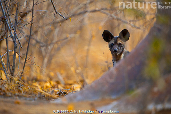 African wild dog (Lycaon pictus) pup peers around the base of a giant baobab tree on Save Valley Conservancy.  Zimbabwe., Animal,Vertebrate,Mammal,Carnivore,Canid,Dog,African Wild Dog,Animalia,Animal,Wildlife,Vertebrate,Mammalia,Mammal,Carnivora,Carnivore,Canidae,Canid,Lycaon,Dog,Lycaon pictus,African Wild Dog,Cape Hunting Dog,Painted Hunting Dog,Africa,East Africa,Zimbabwe,Young Animal,Juvenile,Babies,Baby Mammal,Pup,Pups,Bookplate,Endangered species,threatened,Endangered,,FacetoFacewithWildAfrica,Bookplate,, Neil Aldridge