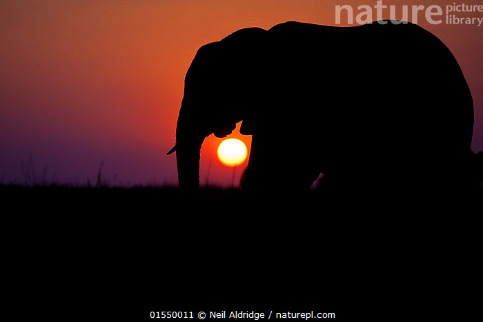 African elephant (Loxodonta africana) walking  in front of a setting sun on floodplains lining the Chobe River, northern Botswana. Vulnerable species., Animal,Vertebrate,Mammal,Elephant,African elephants,African elephant,Animalia,Animal,Wildlife,Vertebrate,Mammalia,Mammal,Proboscidea,Elephantidae,Elephant,Loxodonta,African elephants,Loxodonta africana,African elephant,Africa,Southern Africa,Botswana,Profile,Side View,Back Lit,Sunset,Setting Sun,Sunsets,Silhouette,Dusk,Bookplate,Endangered species,threatened,Endangered,,FacetoFacewithWildAfrica,Bookplate,, Neil Aldridge