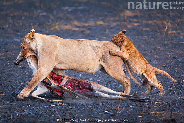 Lion cub (Panthera leo) playfully attacking its mother as she drags her puku antelope prey across burnt Busanga Plains, Kafue National Park, Zambia. Vulnerable, Animal,Wildlife,Vertebrate,Mammal,Carnivore,Cat,Big cat,Lion,Animalia,Animal,Wildlife,Vertebrate,Mammalia,Mammal,Carnivora,Carnivore,Felidae,Cat,Panthera,Big cat,Panthera leo,Humorous,Africa,Zambia,Southern Africa,Animal Behaviour,Playing,Predation,Reserve,Lion,Family,Mother baby,Mother,Protected area,National Park,Bookplate,Zambian,Parent baby,Prey,Kafue National Park,Animals,Vertebrates,Chordates,Mammals,Carnivores,Cats,Big cats,Lions,Families,Plays,Reserves,National parks,Animal,Wildlife,Vertebrate,Mammal,Carnivore,Cat,Big cat,Lion,high16, Neil Aldridge