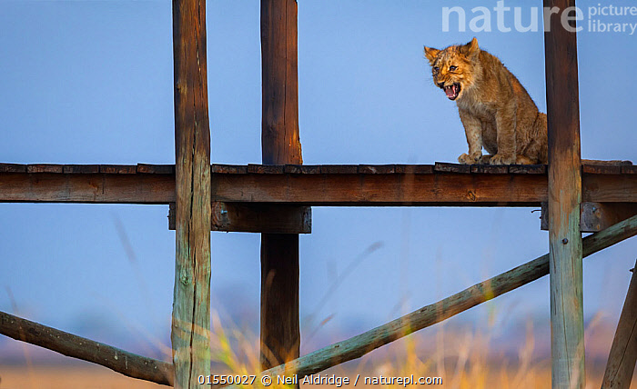 Lion cub (Panthera leo) calling to its mother from the raised deck of a tourist lodge in the middle of the Busanga Plains, Kafue National Park, Zambia. Vulnerable species., Animal,Wildlife,Vertebrate,Mammal,Carnivore,Cat,Big cat,Lion,Animalia,Animal,Wildlife,Vertebrate,Mammalia,Mammal,Carnivora,Carnivore,Felidae,Cat,Panthera,Big cat,Panthera leo,Vocalisation,Calling,Lost,Africa,East Africa,Zambia,Southern Africa,Young Animal,Baby,Baby Mammal,Cub,Building,Cabin,Cabins,Lodges,Animal Behaviour,Reserve,Lion,Protected area,National Park,Bookplate,Zambian,Disorientated,Kafue National Park,Animals,Vertebrates,Chordates,Mammals,Carnivores,Cats,Big cats,Young Animals,Baby Animals,Cubs,Buildings,Lions,Reserves,Babies,National parks,Animal,Wildlife,Vertebrate,Mammal,Carnivore,Cat,Big cat,Lion,high16, Neil Aldridge