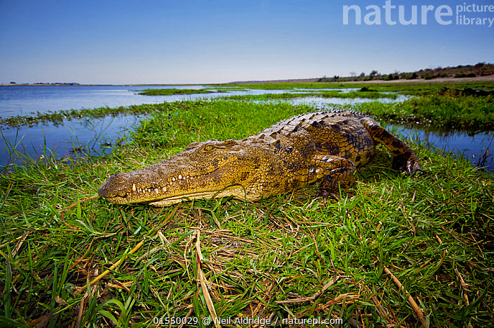 Nile crocodile (Crocodylus niloticus) resting in the sun on a grassy island in the middle of the Chobe River, northern Botswana.  ,  Animal,Vertebrate,Reptile,Crocodilian,Crocodile,Nile crocodile,Animalia,Animal,Wildlife,Vertebrate,Reptilia,Reptile,Crocodylia,Crocodilian,Crocodilia,Crocodylidae,Crocodile,Crocodylus,Crocodylus niloticus,Nile crocodile,Crocodilus vulgaris,Crocodilus multiscutatus,Resting,Rest,Africa,Southern Africa,Botswana,Bookplate,,,FacetoFacewithWildAfrica,Bookplate,  ,  Neil Aldridge
