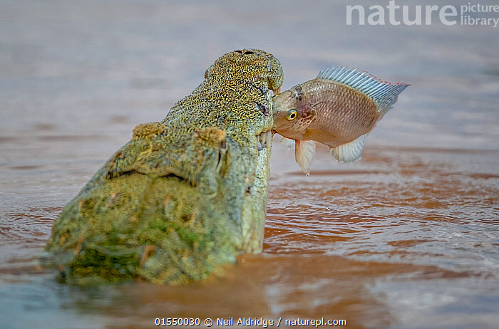 Nile crocodile (Crocodylus niloticus) snatching a Mozambique tilapia (Oreochromis mossambicus) in its jaws, Shingwedzi River, Kruger National Park, South Africa.  ,  Animal,Vertebrate,Ray-finned fish,Percomorphi,Cichlid,Tilapias,Mozambique mouthbrooder,Reptile,Crocodilian,Crocodile,Nile crocodile,Animalia,Animal,Wildlife,Vertebrate,Actinopterygii,Ray-finned fish,Osteichthyes,Bony fish,Fish,Perciformes,Percomorphi,Acanthopteri,Cichlidae,Cichlid,Cichlid fish,Oreochromis,Tilapias,tilapiine cichlids,Oreochromis mossambicus,Mozambique mouthbrooder,Tilapia mossambica,Tilapia vorax,Chromis natalensis,Reptilia,Reptile,Crocodylia,Crocodilian,Crocodilia,Crocodylidae,Crocodile,Crocodylus,Crocodylus niloticus,Nile crocodile,Crocodilus vulgaris,Crocodilus multiscutatus,Africa,Southern Africa,South Africa,Reserve,Protected area,National Park,Bookplate,South African,Freshwater,,FacetoFacewithWildAfrica,Bookplate,  ,  Neil Aldridge