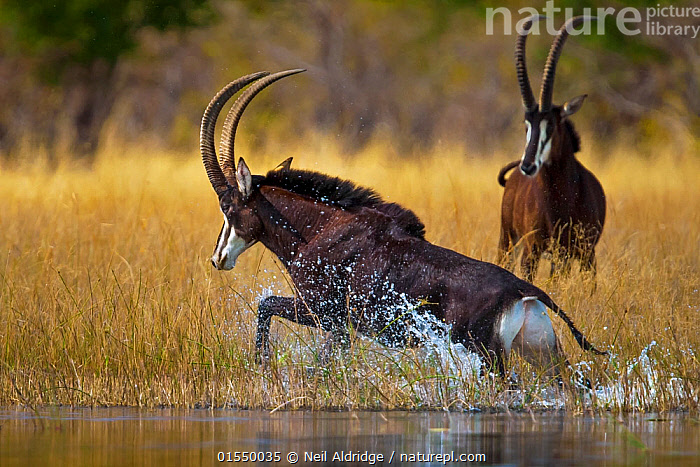 Sable antelope (Hippotragus niger) bull charging through the shallows of the Selinda Spillway, with another behind,  northern Botswana, August.  ,  catalogue9,,Animal,Wildlife,Vertebrate,Mammal,Bovid,Antelope,Animalia,Animal,Wildlife,Vertebrate,Mammalia,Mammal,Artiodactyla,Even-toed ungulates,Bovidae,Bovid,ruminantia,Ruminant,Hippotragus,Antelope,Hippotragus niger,Sable Antelope,Charging,Charge,Charges,Splashing,Two,Africa,Southern Africa,Botswana,Male Animal,Bull,Bulls,Freshwater,Water,Animal Behaviour,Bookplate,  ,  Neil Aldridge