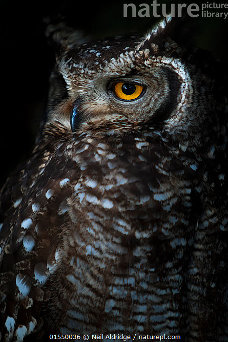 Portrait of an adult Spotted eagle owl (Bubo africanus) Table Mountain National Park, South Africa.  ,  Animal,Vertebrate,Bird,Birds,Owl,Spotted eagle owl,Animalia,Animal,Wildlife,Vertebrate,Aves,Bird,Birds,Strigiformes,Owl,Bird of prey,Strigidae,Striginae,Bubo,Bubo africanus,Spotted eagle owl,African eagle owl,Africa,Southern Africa,South Africa,Close Up,Portrait,Reserve,Protected area,National Park,Bookplate,South African,  ,  Neil Aldridge