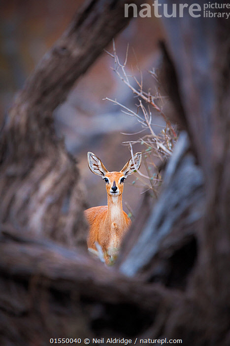 Steenbok (Raphicerus campestris) female standing framed by a fallen tree, Mapungubwe National Park, Limpopo Province, South Africa., Animal,Wildlife,Vertebrate,Mammal,Bovid,Steenbok,Animalia,Animal,Wildlife,Vertebrate,Mammalia,Mammal,Artiodactyla,Even-toed ungulates,Bovidae,Bovid,ruminantia,Ruminant,Raphicerus,Raphicerus campestris,Steenboks,Alertness,Africa,Southern Africa,South Africa,Frame,Border,Borders,Framed,Frames,Female animal,Reserve,Steenbok,Protected area,National Park,Bookplate,Antelope,Direct Gaze,South African,Limpopo,Limpopo Province,Mapungubwe National Park,Animals,Vertebrates,Chordates,Mammals,Bovids,Ruminants,Reserves,Antelopes,National parks,Female Animals,Animal,Wildlife,Vertebrate,Mammal,Bovid,Steenbok,high16, Neil Aldridge