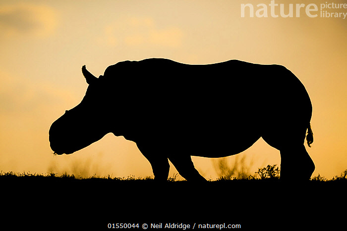White rhinoceros (Ceratotherium simum)  female 'Thandi' silhouetted against the sunset, Kariega Game Reserve. South Africa. Thandi's horns were taken in a brutal attack by poachers.  ,  Animal,Vertebrate,Mammal,Odd toed ungulate,Rhinoceros,White Rhinoceros,Animalia,Animal,Wildlife,Vertebrate,Mammalia,Mammal,Perissodactyla,Odd toed ungulate,Rhinocerotidae,Rhinoceros,Rhino,Ceratotherium,Ceratotherium simum,Square-lipped Rhinoceros,Africa,Southern Africa,South Africa,Back Lit,Sunset,Setting Sun,Sunsets,Reserve,Silhouette,White Rhinoceros,Protected area,Dusk,Bookplate,South African,Critically endangered,Endangered species,Threatened,,FacetoFacewithWildAfrica,Bookplate,  ,  Neil Aldridge