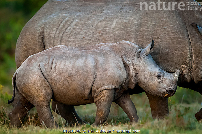 White rhinoceros (Ceratotherium simum) calf keeping close to its mother on Kariega Game Reserve, South Africa.  ,  Animal,Vertebrate,Mammal,Odd toed ungulate,Rhinoceros,White Rhinoceros,Animalia,Animal,Wildlife,Vertebrate,Mammalia,Mammal,Perissodactyla,Odd toed ungulate,Rhinocerotidae,Rhinoceros,Rhino,Ceratotherium,Ceratotherium simum,Square-lipped Rhinoceros,Africa,Southern Africa,South Africa,Young Animal,Juvenile,Babies,Baby Mammal,Calf,Reserve,Family,Mother baby,Mother-baby,mother,White Rhinoceros,Protected area,Bookplate,South African,Parent baby,Critically endangered,Endangered species,Threatened,,FacetoFacewithWildAfrica,Bookplate,  ,  Neil Aldridge