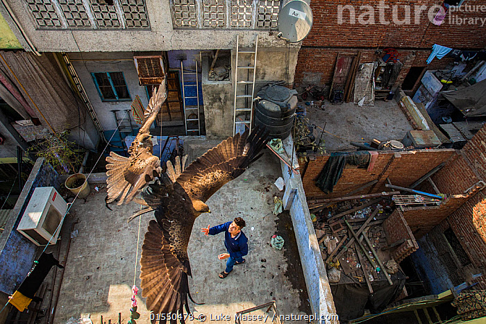 Black kites (Milvus migrans) flying above man as he throws food skyward from a rooftop. Old Delhi, India. February 2016. Finalist in the Urban category of the Wildlife Photographer of the Year Awards (WPOY) Competition 2016., Animal,Wildlife,Vertebrate,Bird,Birds,Kite,Black kite,Animalia,Animal,Wildlife,Vertebrate,Aves,Bird,Birds,Accipitriformes,Accipitridae,Milvus,Kite,Bird of prey,Raptor,Milvus migrans,Black kite,Flying,People,Man,Asia,Indian Subcontinent,India,Delhi,High Angle View,City,Building,Roof,Roofs,Rooftop,Rooftops,Competition winner,Elevated view,Photography award,Animals,Vertebrates,Chordates,Kites,Birds of prey,Raptors,Men,Buildings,Award winners,Animal,Wildlife,Vertebrate,Bird,Birds,Kite,Black kite, catalogue9, Luke Massey